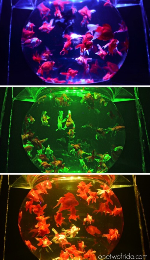 Art Aquarium - Kingyo - Milano